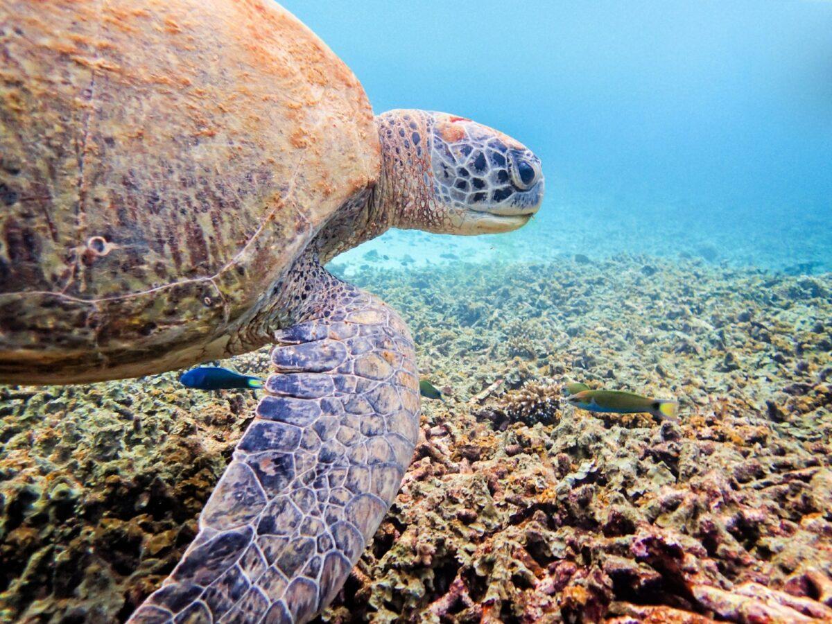 Green Sea Turtle ko tao thailand