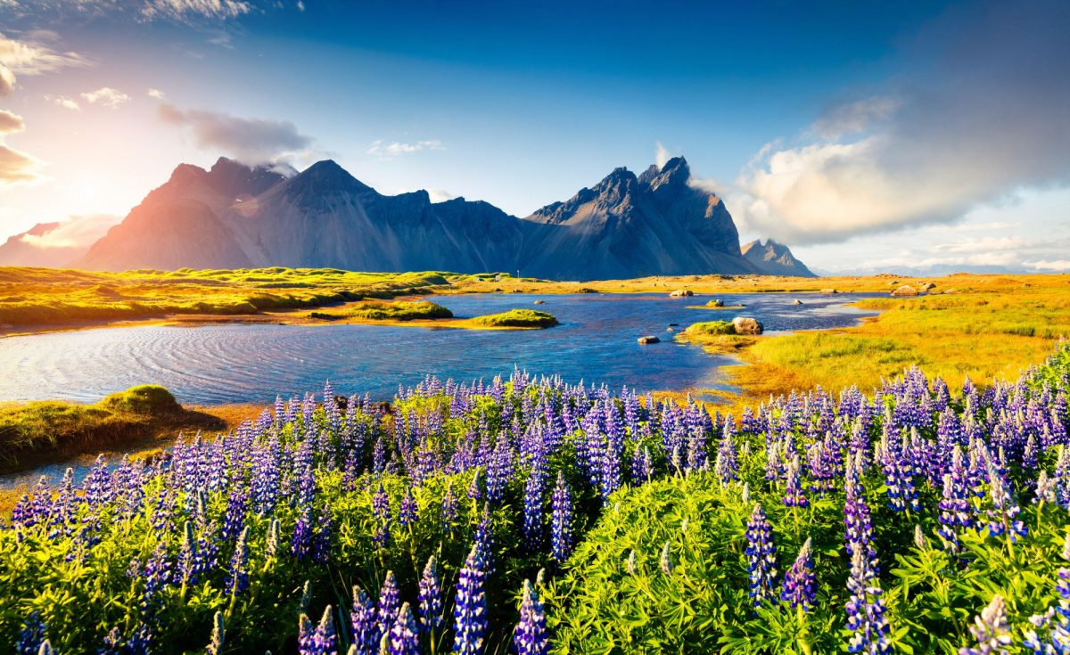 Iceland Blooming lupine flowers on the Stokksnes headland