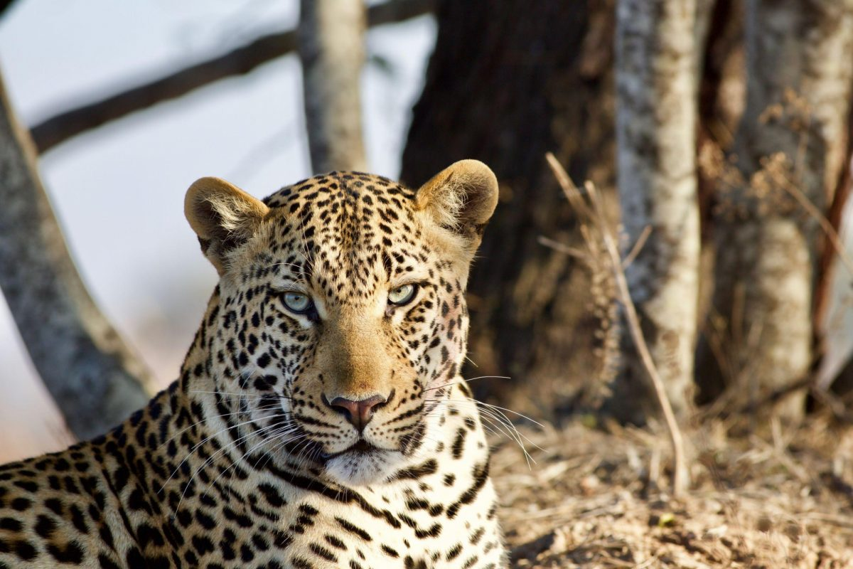 Kafue National Park leopard