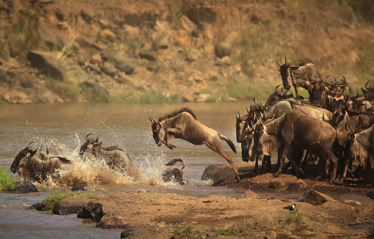 Kenya Mara rivercrossing