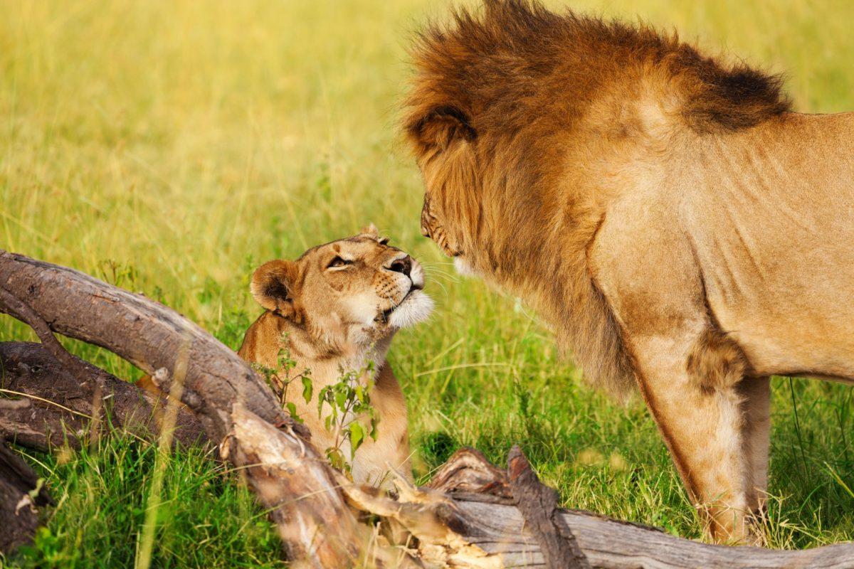 Kenya Masiamara lion