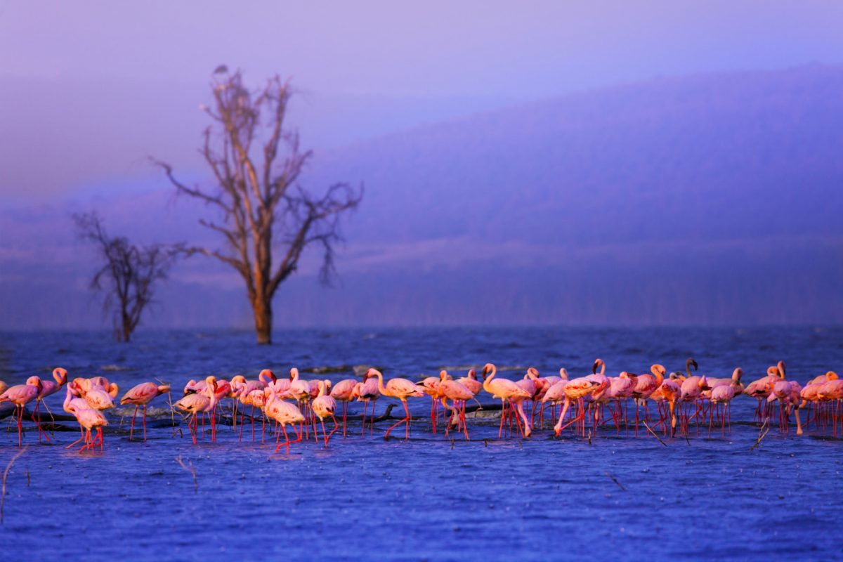 Kenya Nakuru flamingoes2