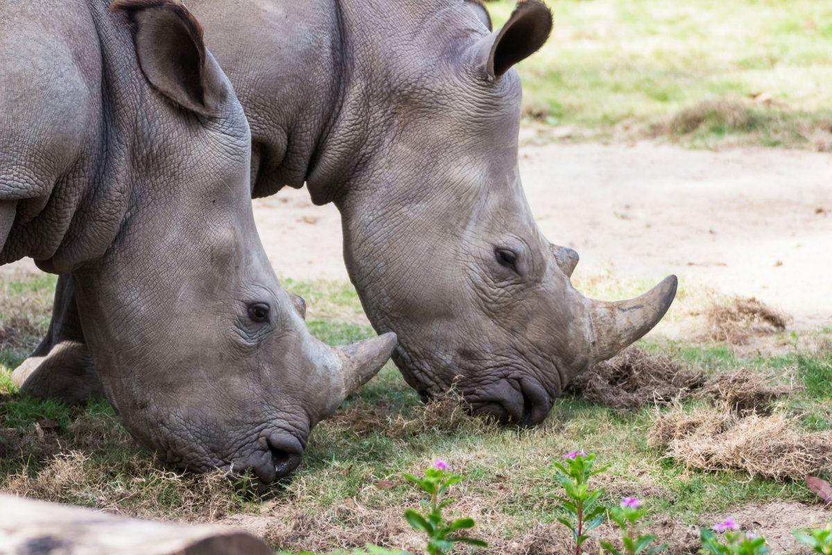 Kenya Ol Pejeta rhinos
