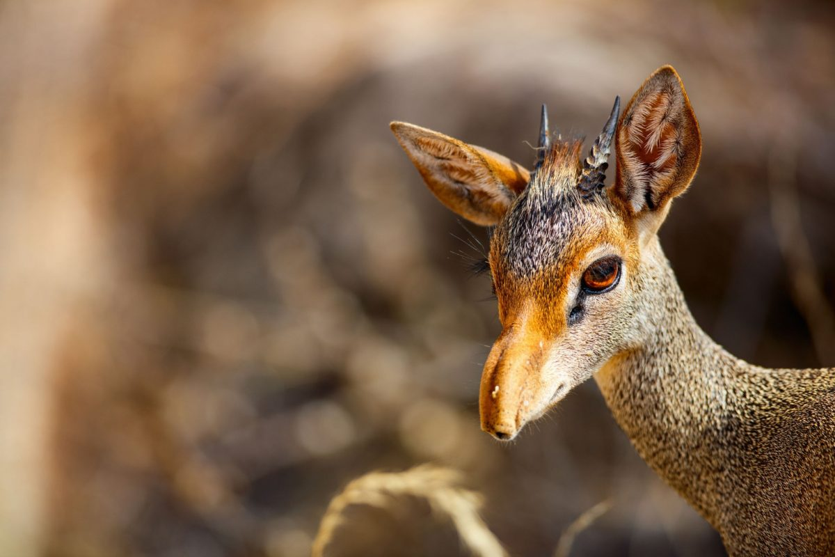 Kenya Samburu Close up of Dik dik antelope in Samburu national park in Kenya