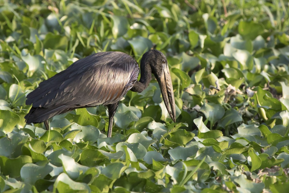 Lake Victoria African open billed stork