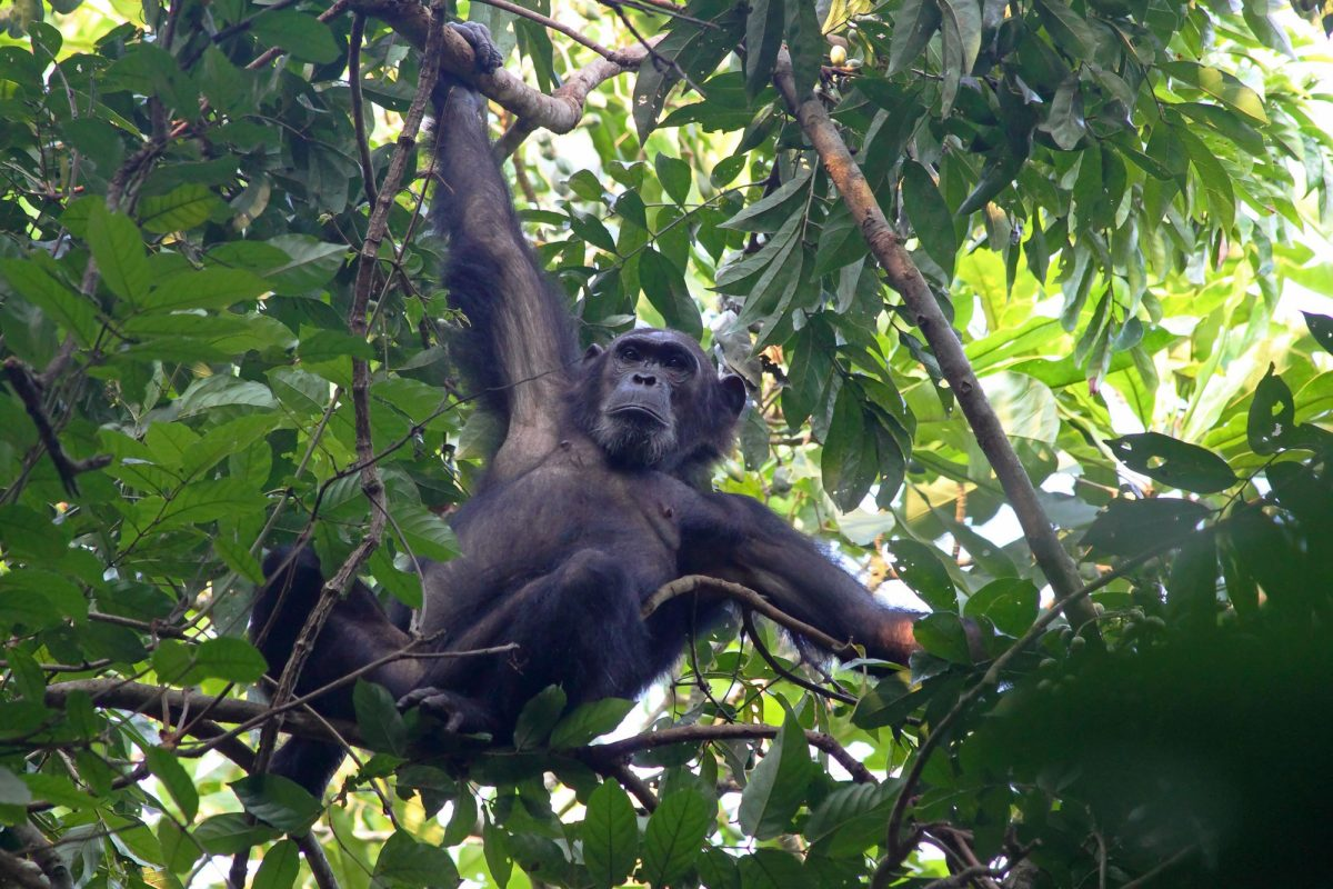 Male chimpanzee Pan troglodytes clinging to a tree in Gombe Stream National Park Tanzania