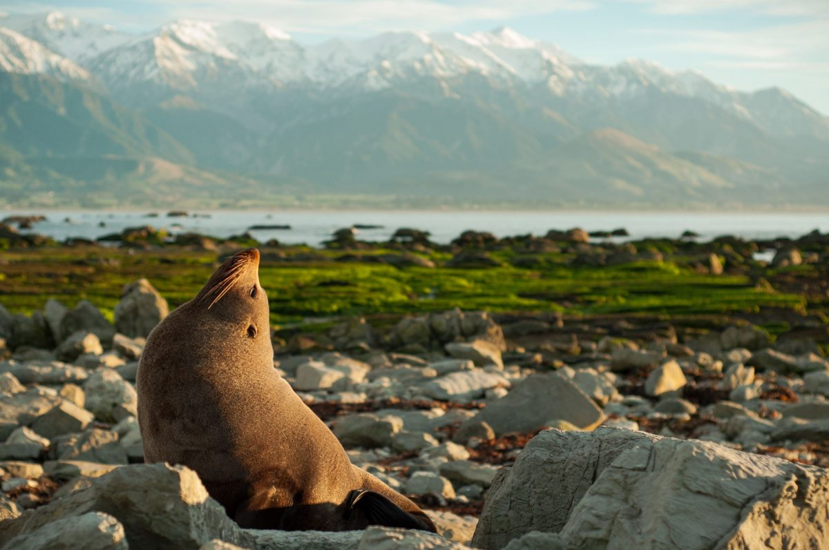 NZ Kaikoura seal
