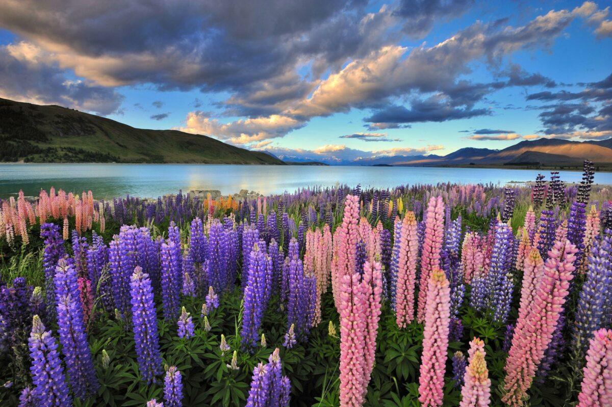 NZ Lake Tekapo lupins