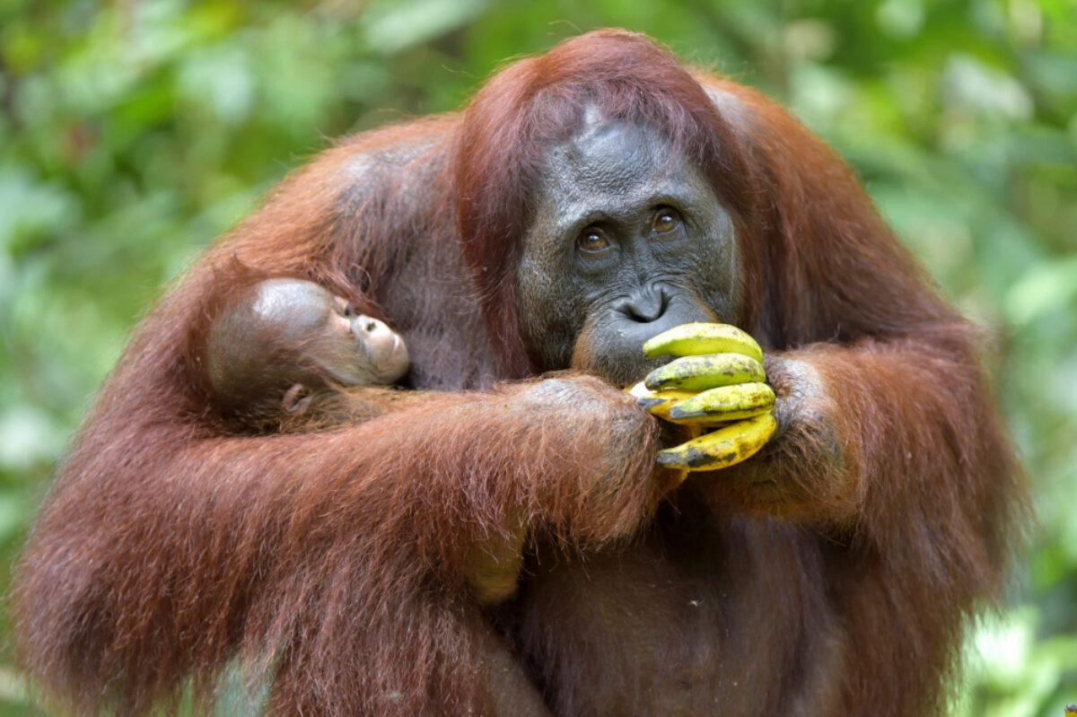 Orangutan-family