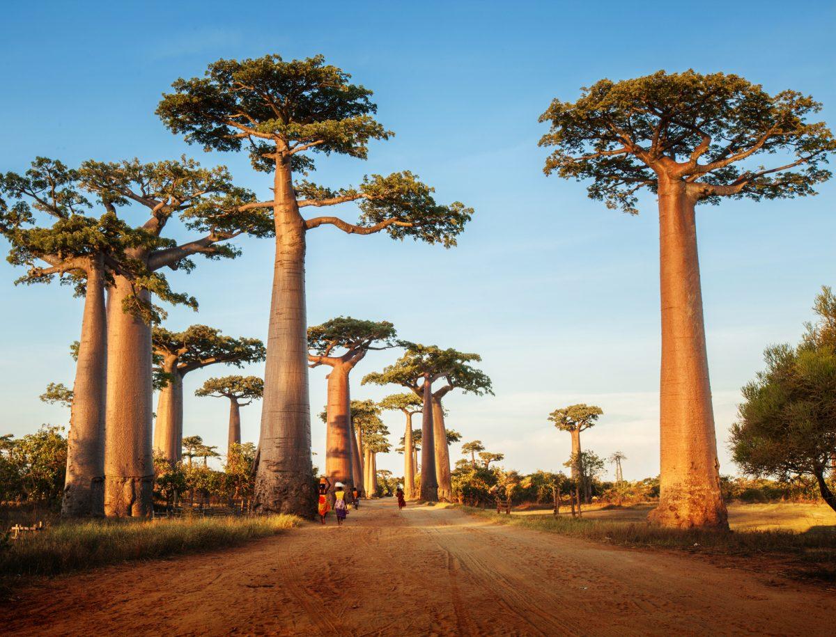 SA_Baobab-trees
