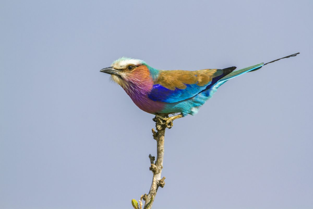 SA_Lilac-breasted-roller