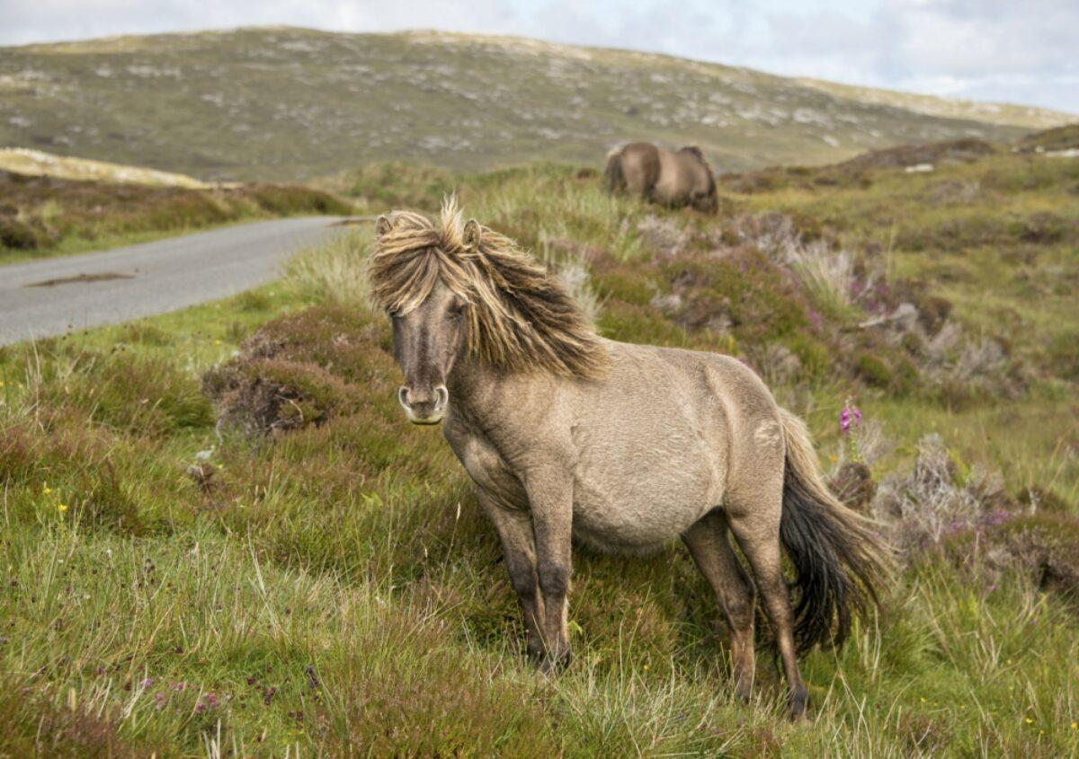 Scotland Hebrides Shetland pony south Uist outer Hebrides