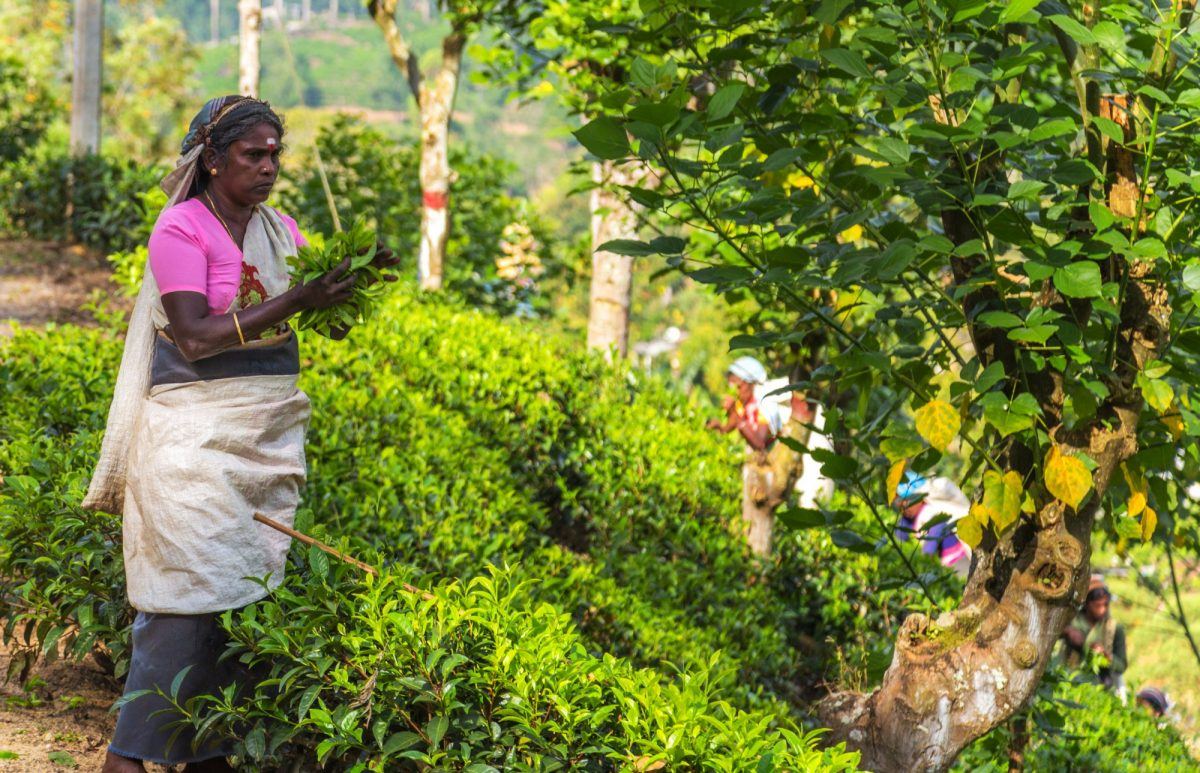 Sri Lanka Haputale tea picker