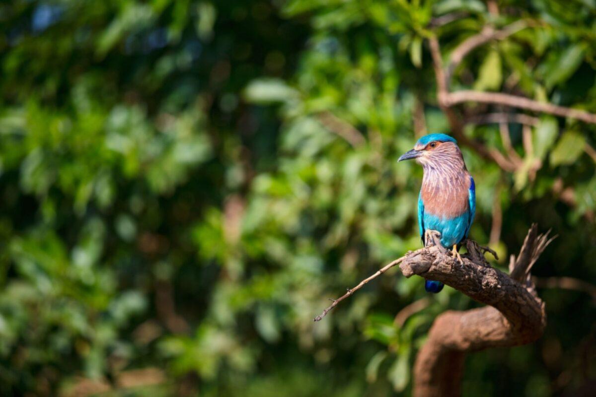Sri Lanka Udawalawe Lilac breasted roller