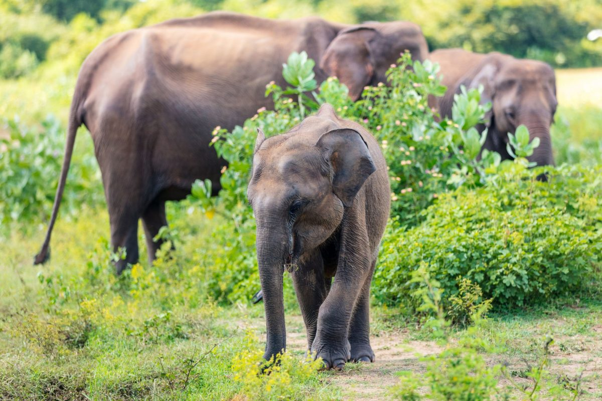 Sri Lanka Udawalawe elephants