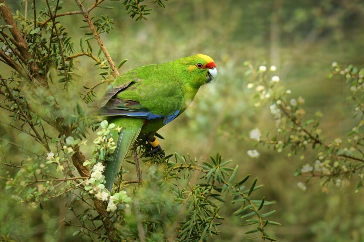 Stewart Island yellow crowned parakeet