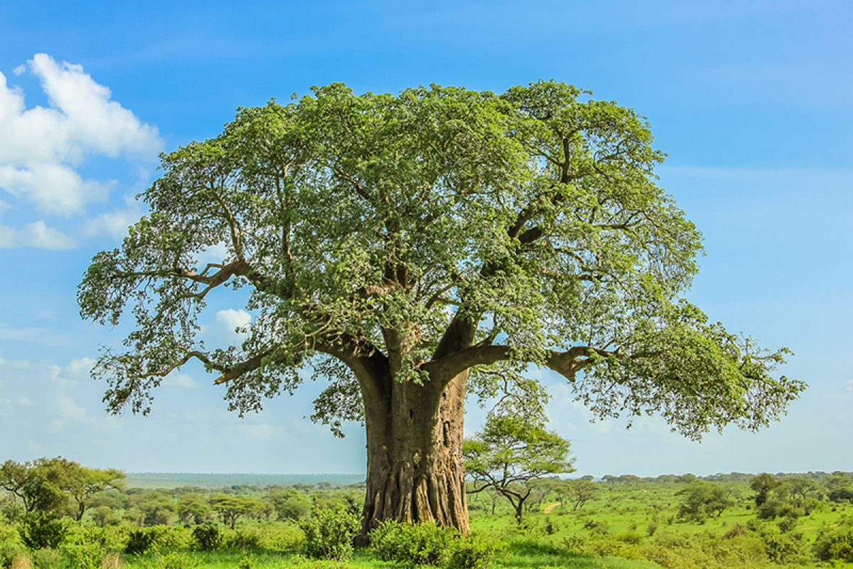 Tanzania Baobab tree in Tarangire National Park lowres