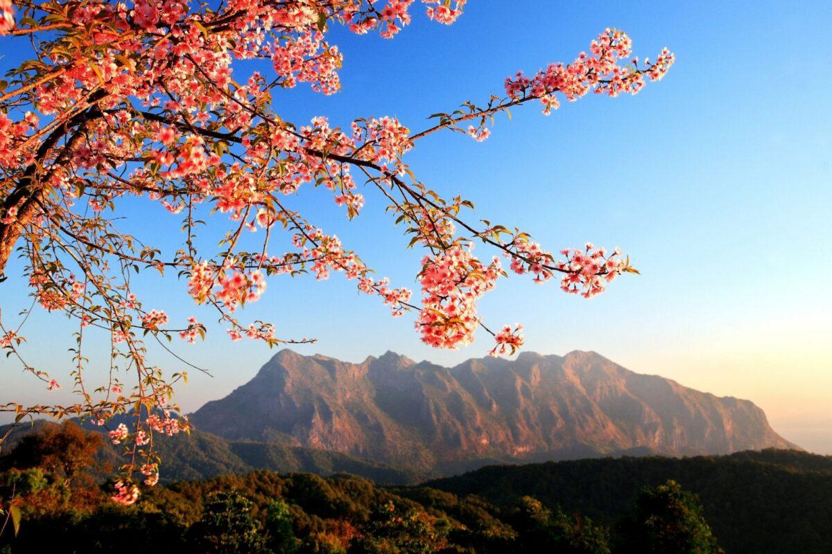Thailand chiang dao loseup of Wild Himalayan Cherry Prunus cerasoides at San Pa Kea