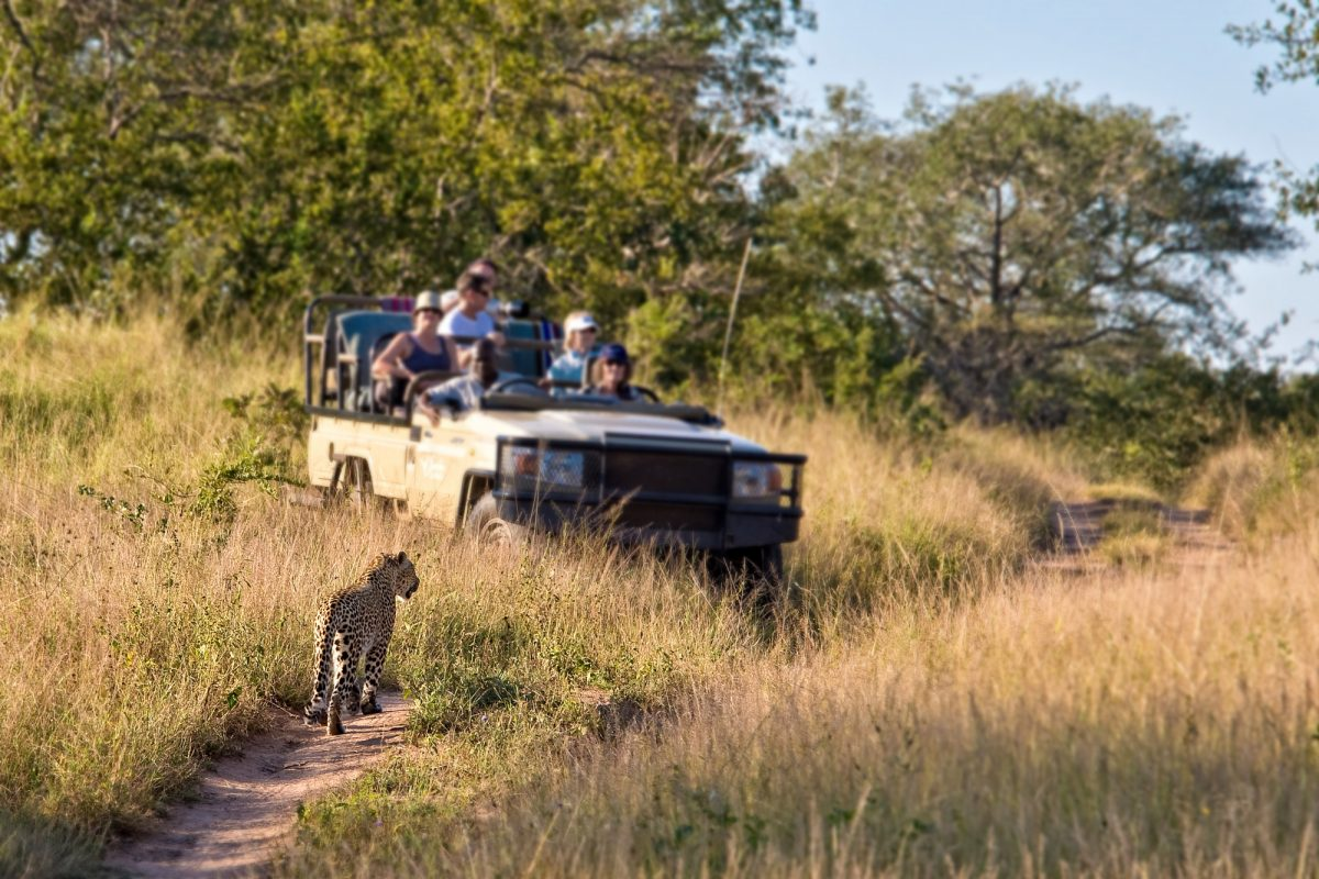Tourists observing a female leopard South Africa