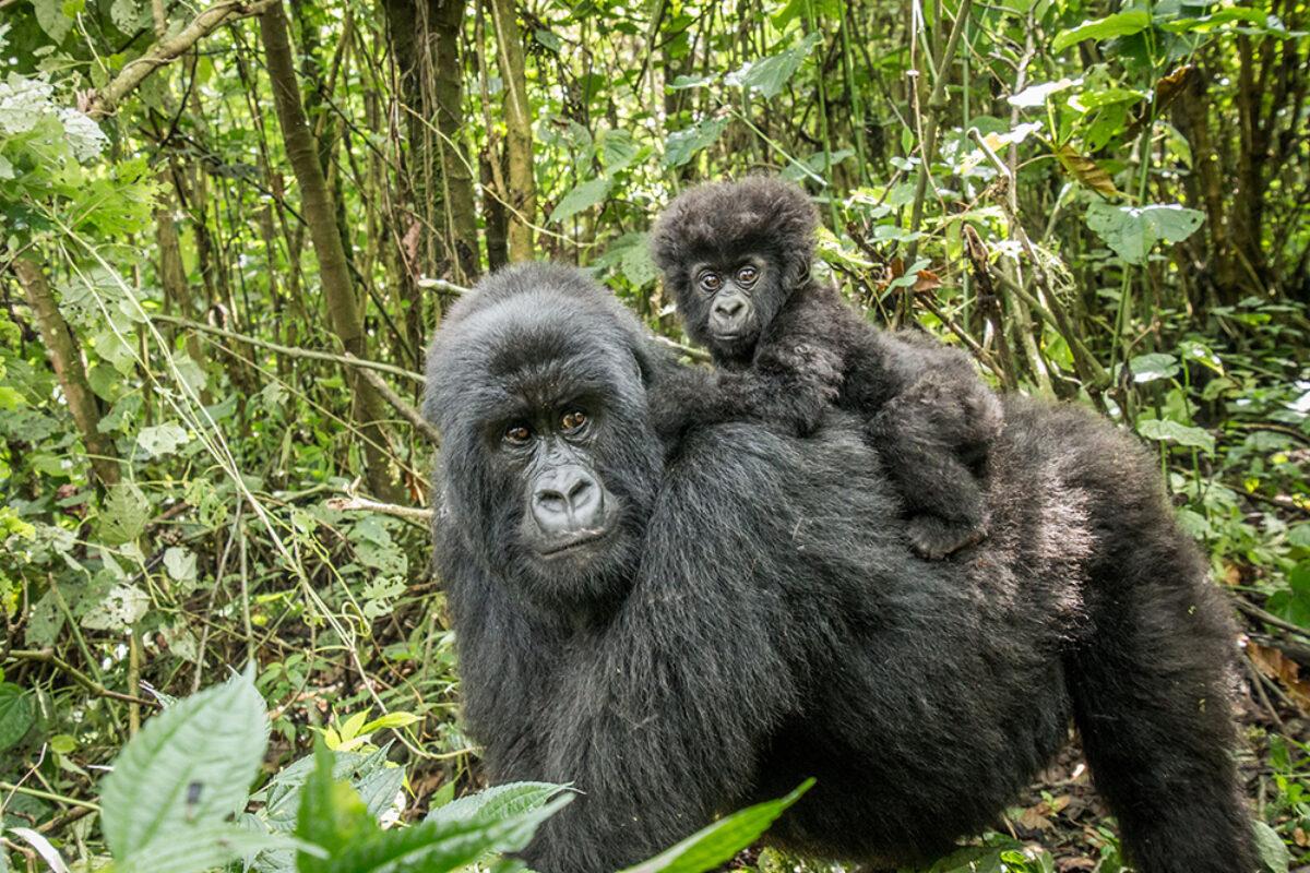 Uganda Mountaingorillababy lowres