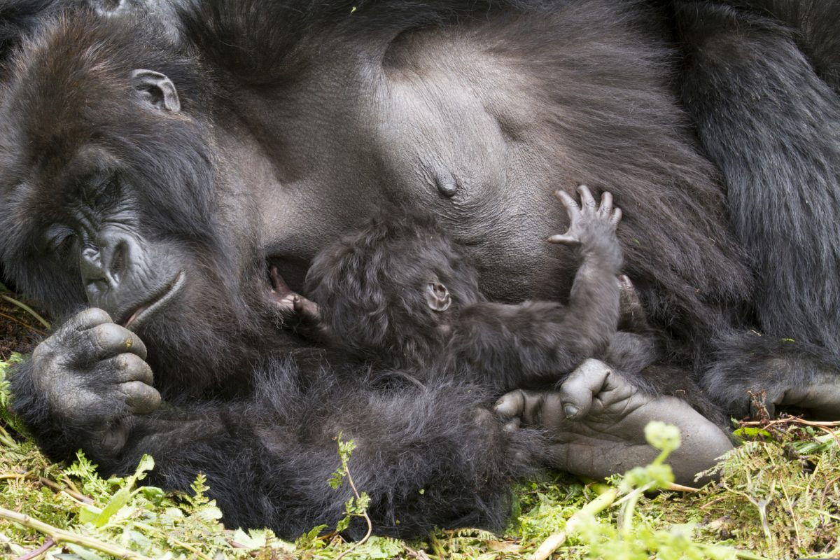 Uganda_gorilla_Biwindi Impenetable-National Park