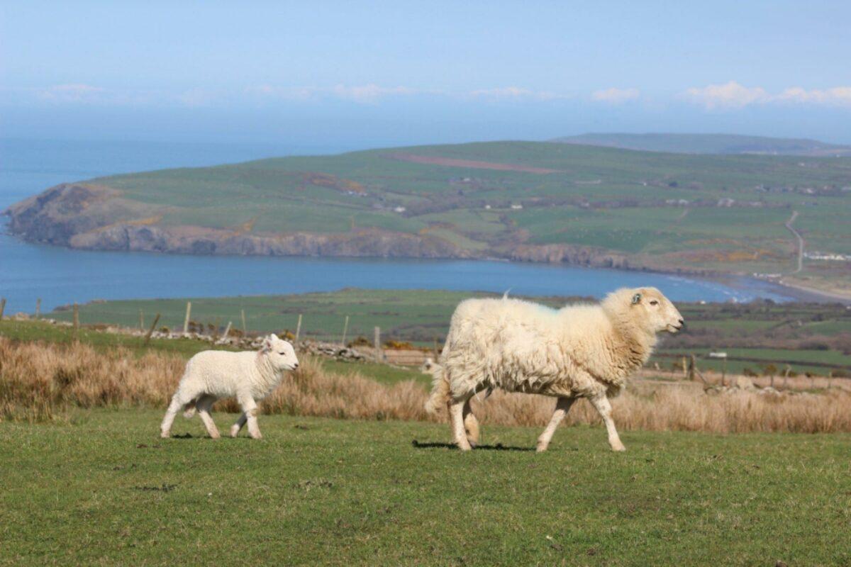 VIP Wales pembrokeshire sheep
