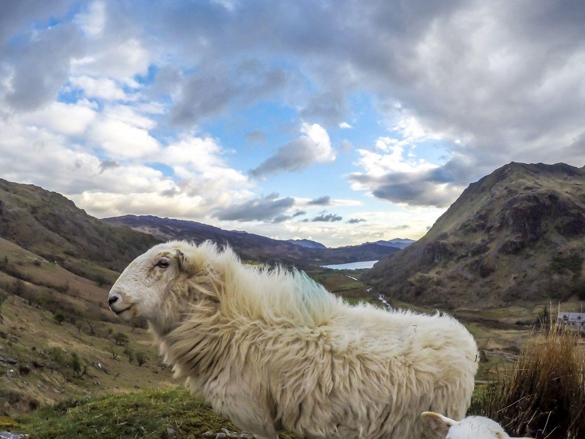 Wales Snowdonia Sheep Llyn Gwynant