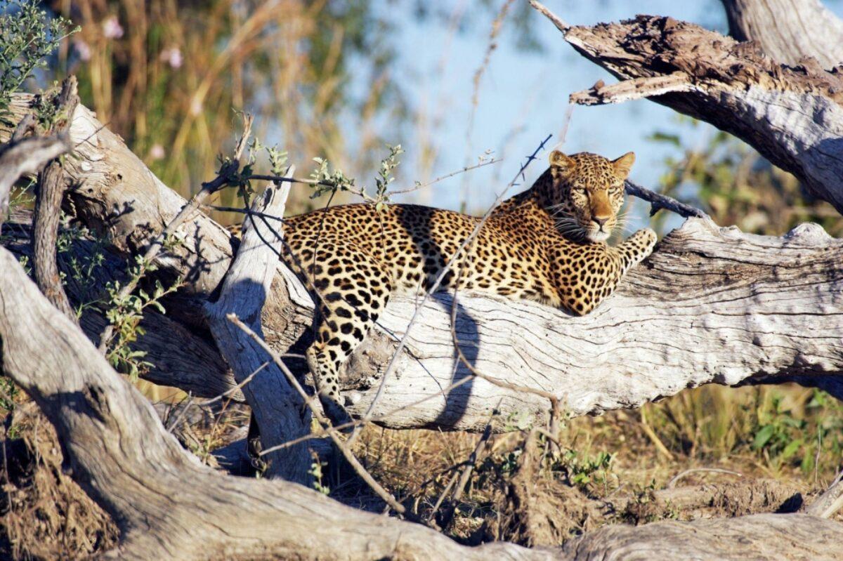 Zambia Kafue NP leopard2