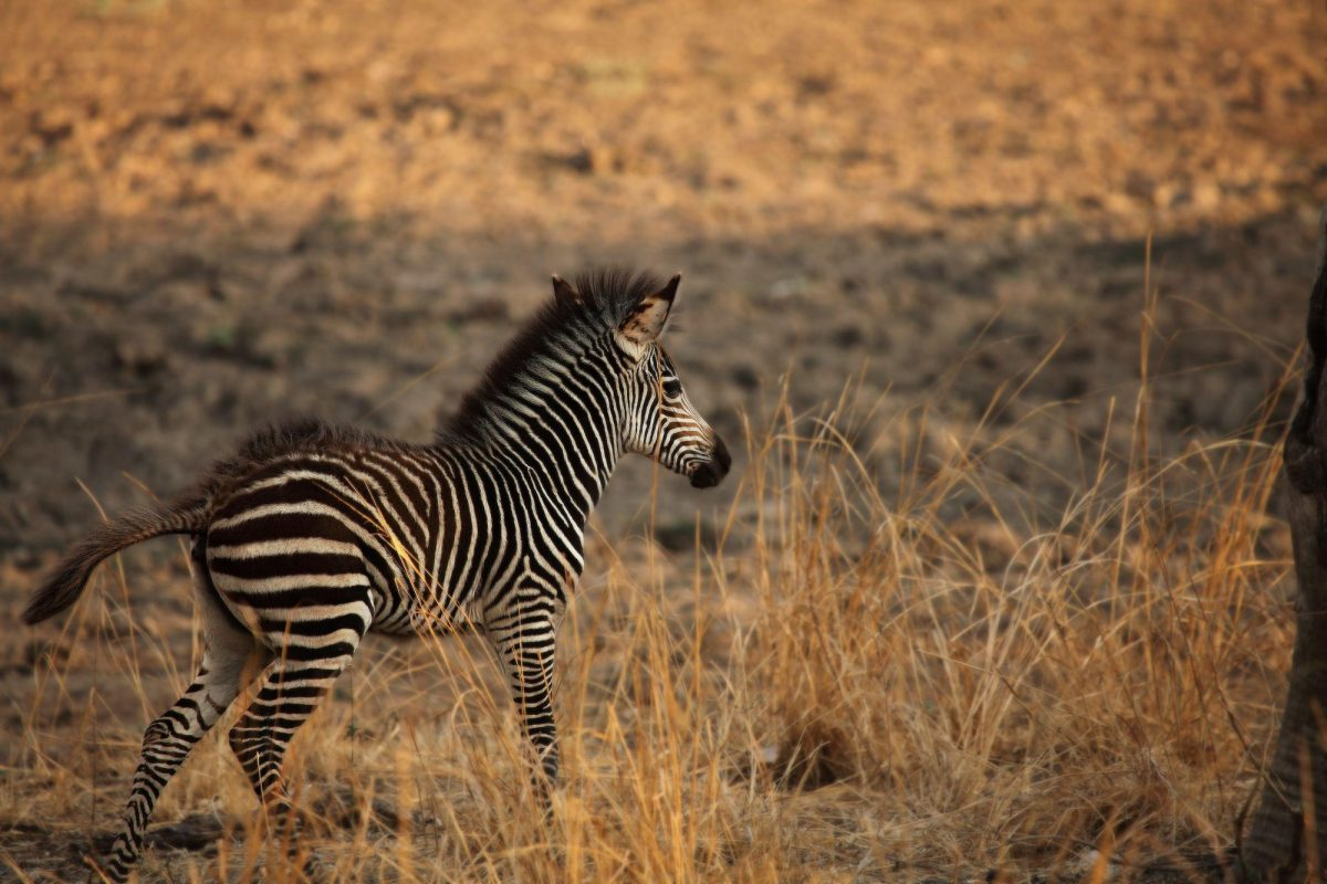 Zambia South Luangwa A young cute Plains Zebra Equus quagga in a grassland