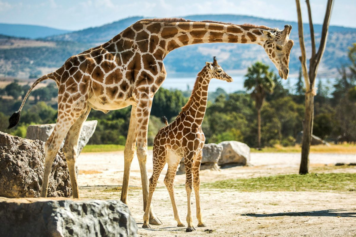 Zambia giraffes zoo