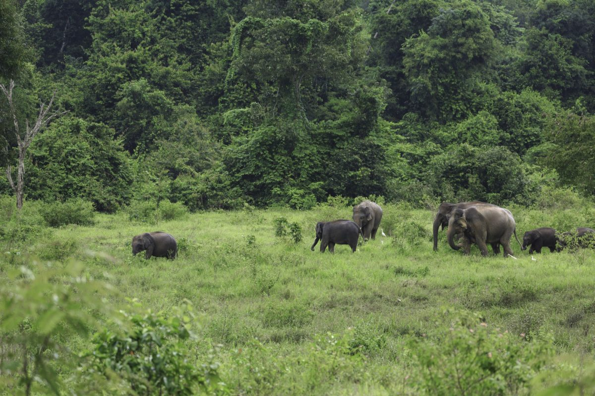 Wild elephants live in deep forest at Kui Buri National Park Thailand