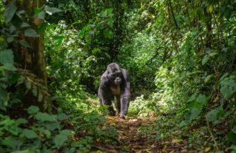 Ugandan Primate Habitat Safari