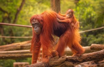 Orangutans and Tanjung Puting