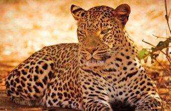 Leopard spotting in South Luangwa