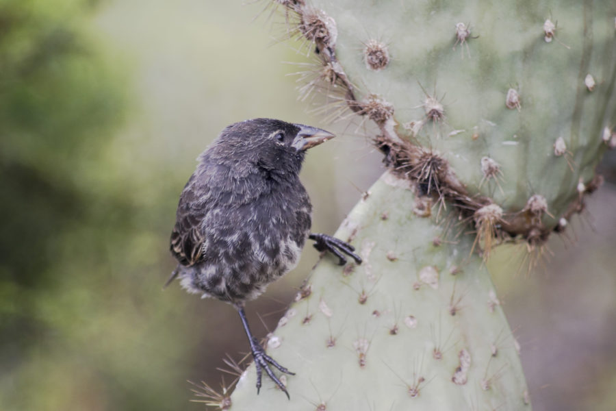 010 Common Cactus Finch