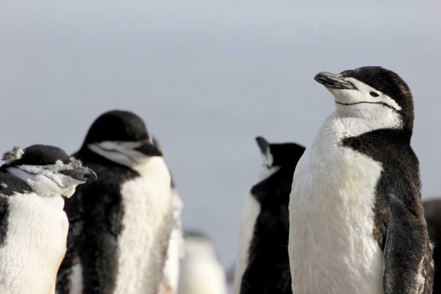 030 Chinstrap Penguin