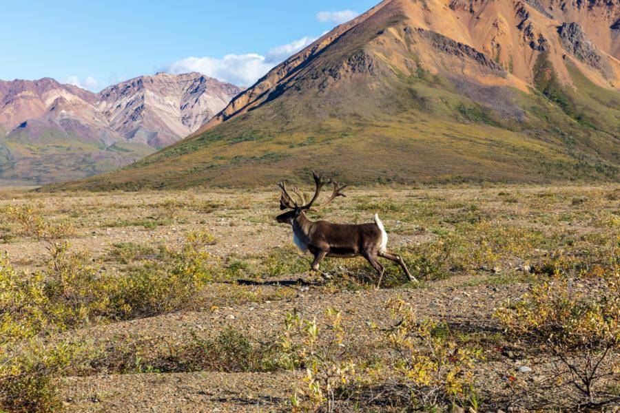 Alaska_Caribou2_lowres