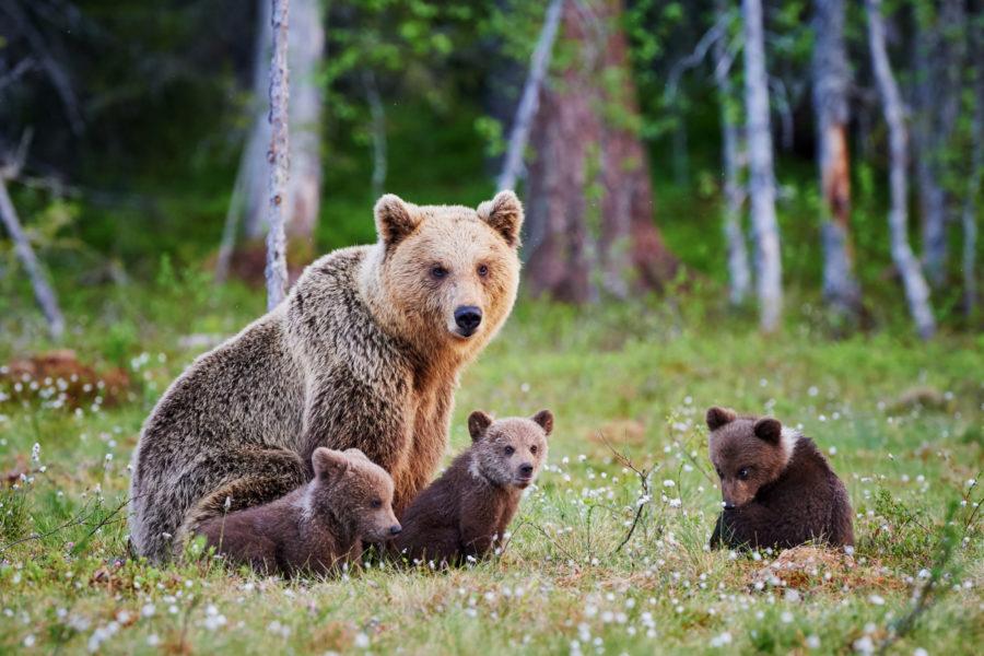 Alaska_grizzlybear