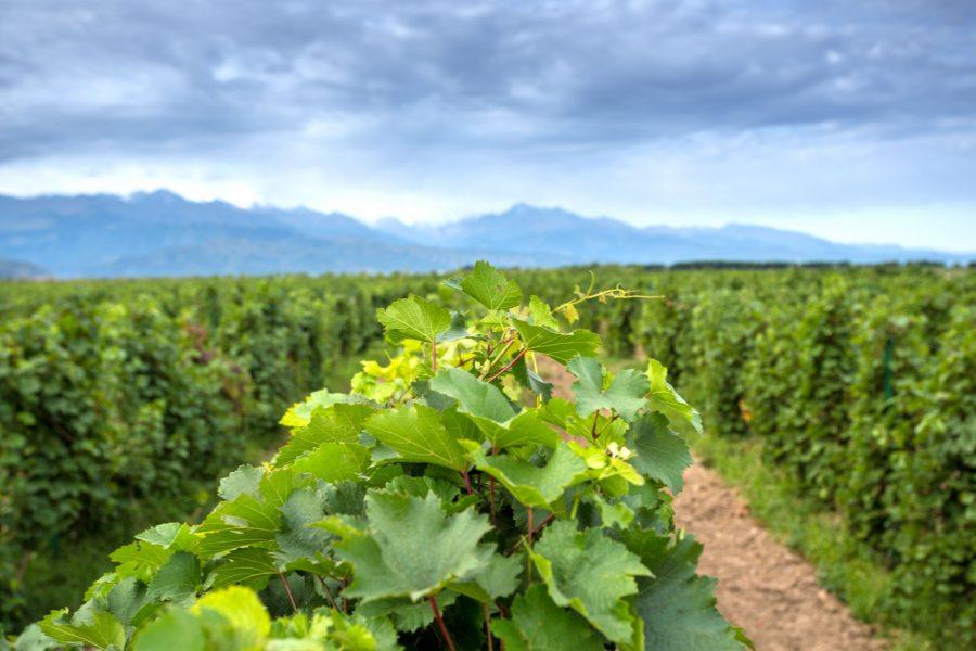 Argentina San Juan vineyard