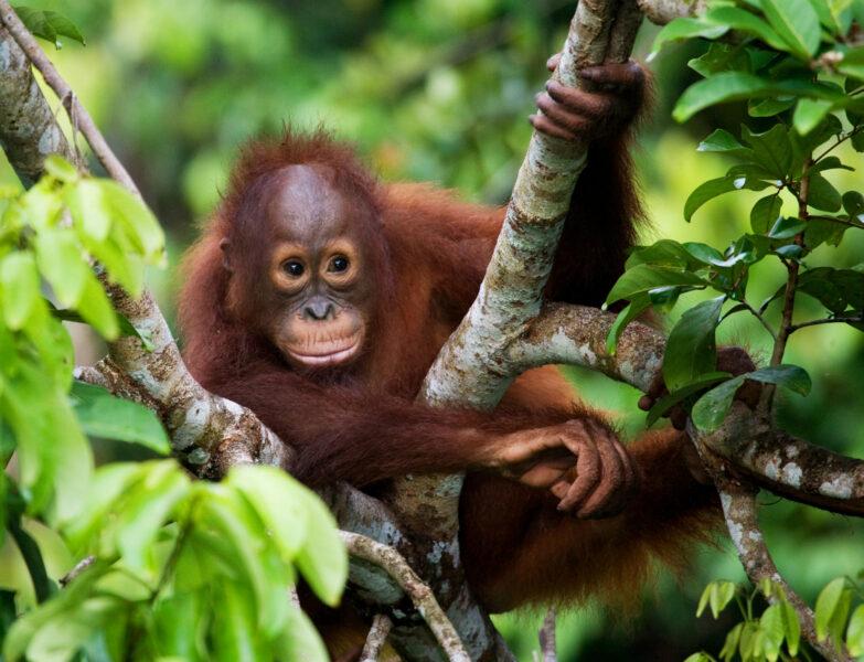Borneo_Kalimantaorangutan