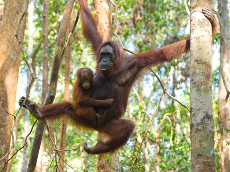 Borneo_Orangutan5