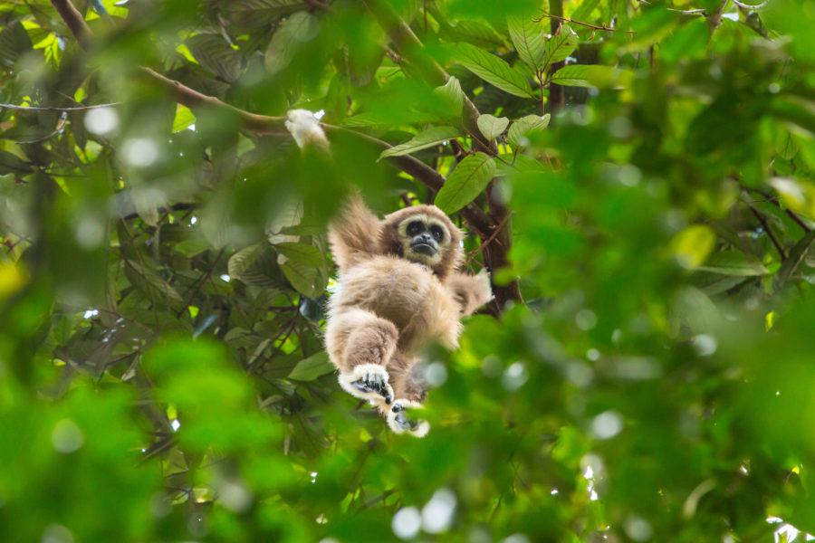 Borneo_Sumatragibbon