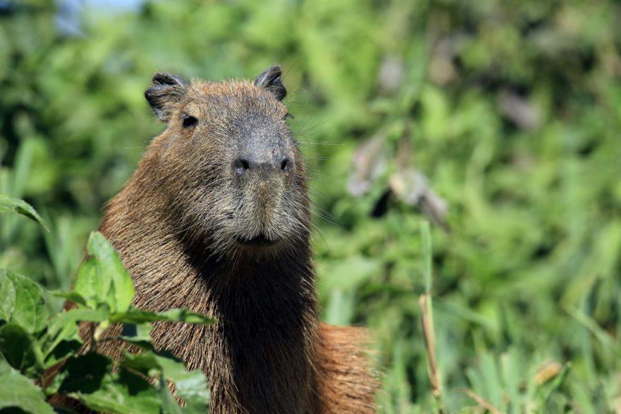 Brazil Pantanal Capybara