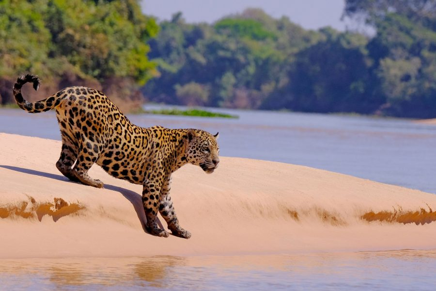 Brazil Pantanal Female Jaguar at Cuiaba River Porto Jofre Mato Grosso do Sul