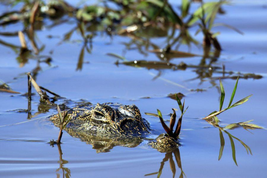 Brazil Pantanal Yacare Caiman Caiman yacare in the Water at Porto Jofre