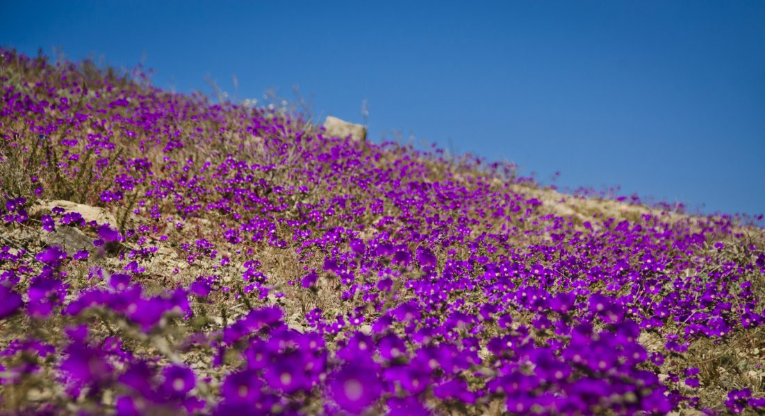 Chile_atacama-flowers