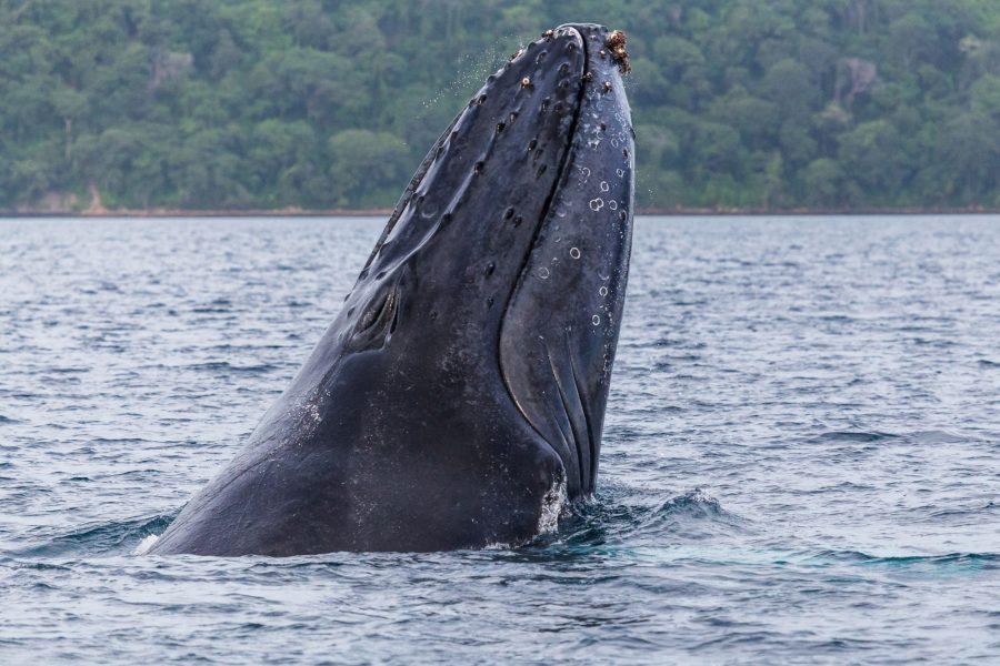 Costa Rica Manuel Antonio National Park humpback