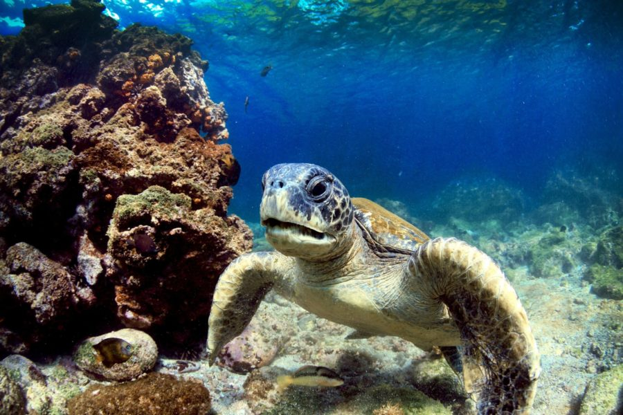 Galapagos-snorkel-turtle