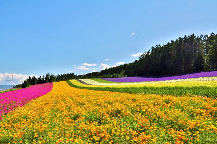 Japan Hokkaido Beautiful flower field on the hill at Furano