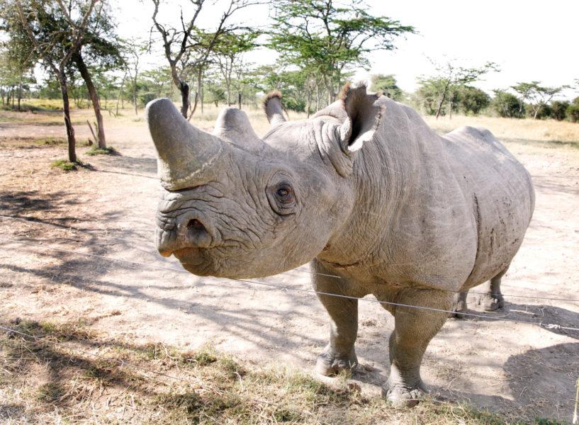 Kenya_Ol-Pejeta-Conservancy_rhino